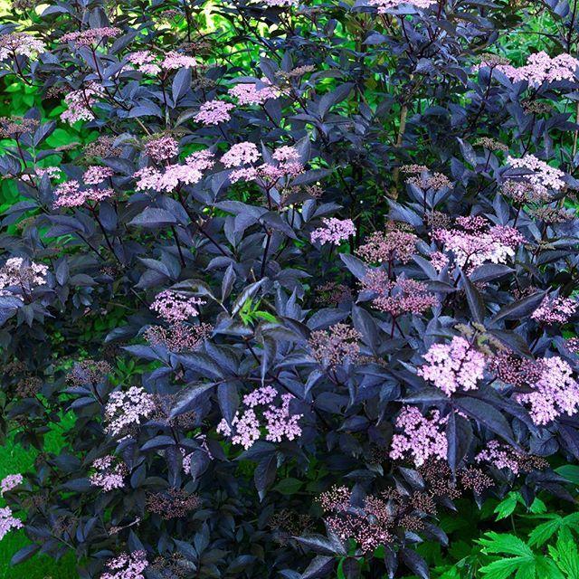 En rigtig showstopper! En busk, der bliver beundret af alle, der besøger haven her midt i juni, er den mørkbladede hyld med pink blomster - Sambucus nigra 'Blanck Beauty'. Det er en virkelig must have plante. Derfor er jeg glad for at kunne fortælle, at jeg har skaffet et parti af denne sjældenhed til Bilkas havecentre. Den er der nu. Så længe lager haves ... Husk også at se mit forårsløgsortiment, hvis I tager af sted.