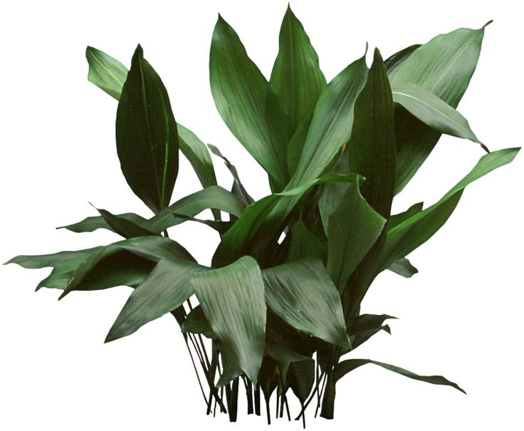 a cast iron plant is an almost easycare plant that survives where other low lightsplant - Houseplants For Low Light