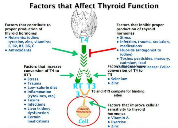 Factors that affect thyroid function