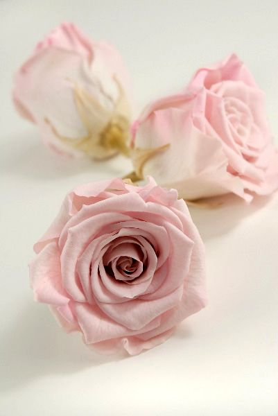 26.00 SALE PRICE! Bring a touch of decadence to your romantic bouquets or classic wedding ceremony with these velvety blossoms. The Pink Preserved Rose heads...