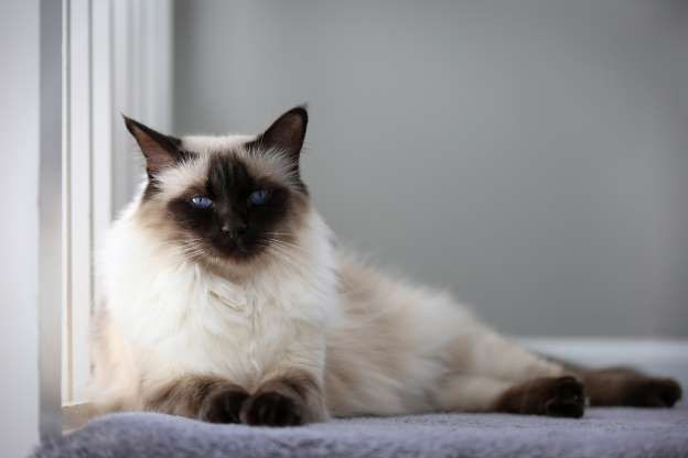 The Best Cat Breeds For People With Allergies In 2020 Balinese Cat Cat Breeds Hypoallergenic Cats