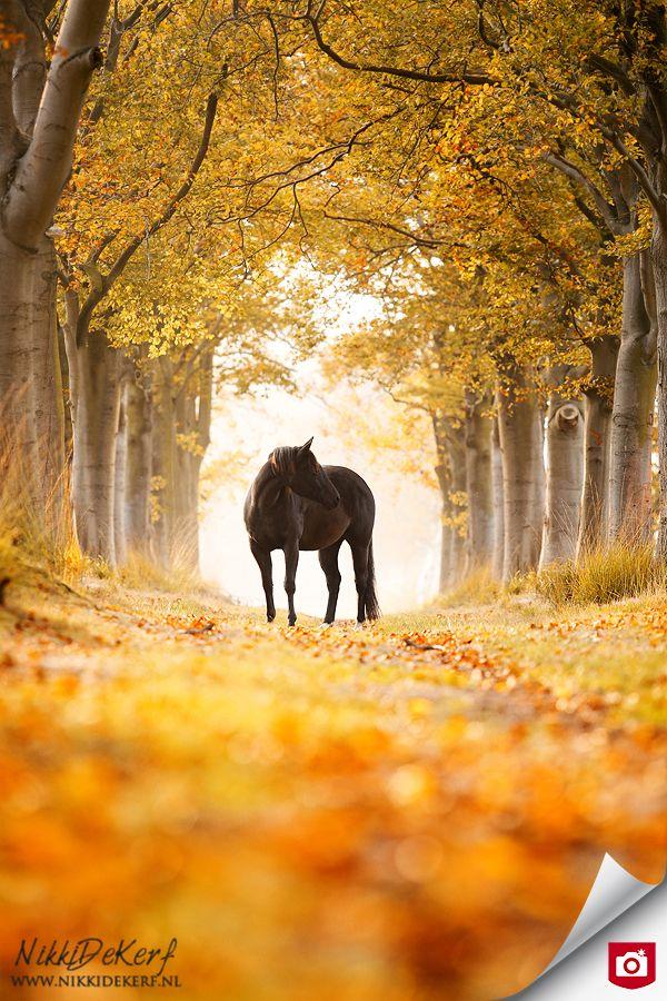 De Foto van de Dag!  Door het standpunt van Nikki staat het zwarte paard perfect in het kader, wat prachtig gevormd is door de oranje herfstbomen! Gefeliciteerd, nikkidekerf!   Bekijk meer foto's van nikkidekerf op: http://nikkidekerf.zoom.nl/