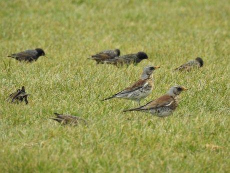 Grote groep kramsvogels en spreeuwen op een pas bemest weiland