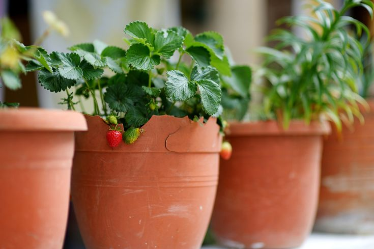 How to Grow Strawberries on Your Apartment Porch