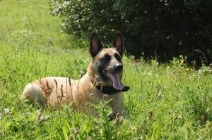 Malinois Belgian Sheperd Dog
