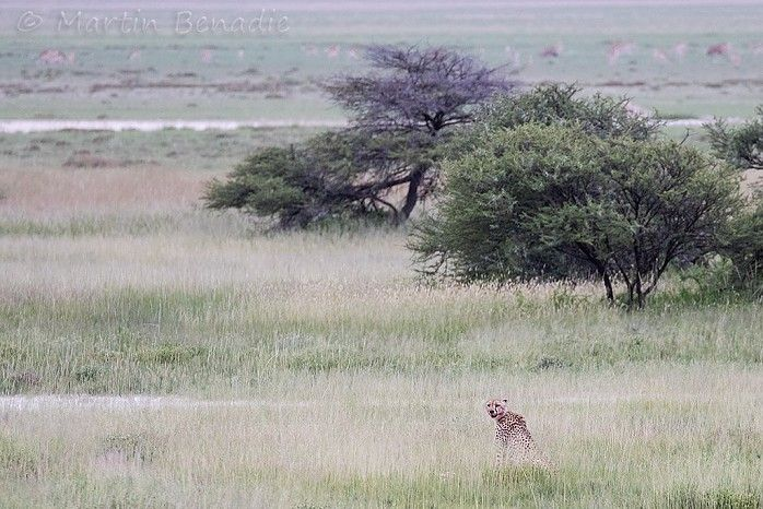 This cheetah just missed a springbok kill #EtoshaNP