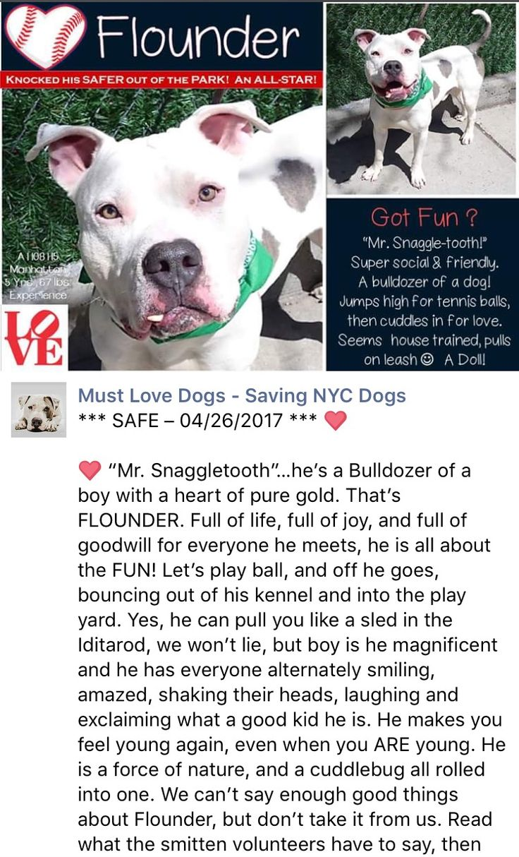 SAFE❤️❤️ 4/29/17 Manhattan Center My name is FLOUNDER. My Animal ID # is A1108115. I am a male white and brown amer bulldog mix. The shelter thinks I am about 5 YEARS old. I came in the shelter as a STRAY on 04/06/2017 from NY 10455, owner surrender reason stated was STRAY. http://nycdogs.urgentpodr.org/flounder-a1108115/