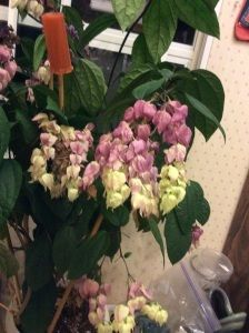 medinilla magnifico are unique beautiful flowering houseplants httpwwwhouseplant411