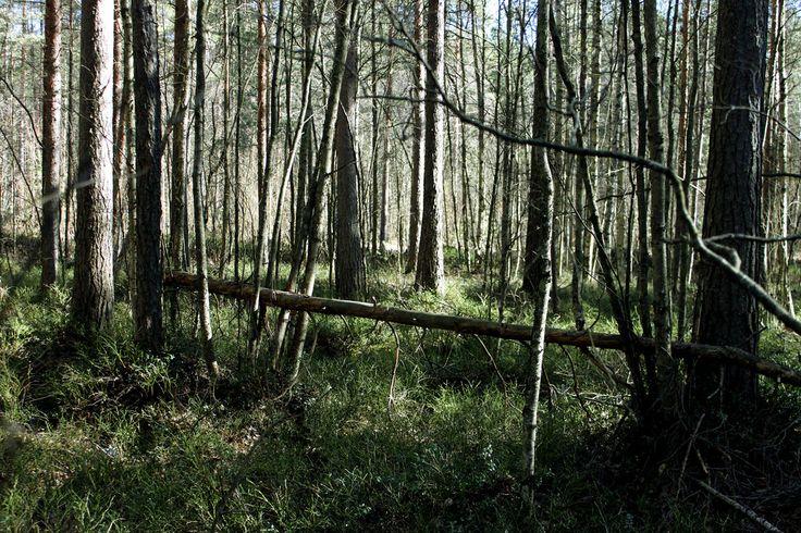Forest | by Siniirr