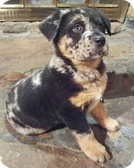 SOUTHINGTON, CT - Australian Shepherd/Rottweiler Mix. Meet Blakely, a puppy for adoption. http://www.adoptapet.com/pet/12658481-southington-connecticut-australian-shepherd-mix