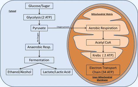 Cellular Respiration Cycle. Anaerobic. Aerobic.