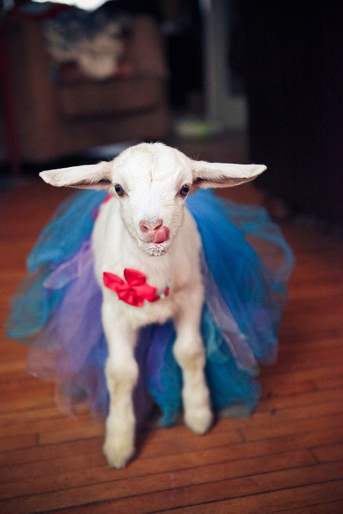 17 Best images about animals in tutus on Pinterest