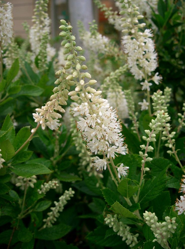 clethra Plants for Garden Pinterest