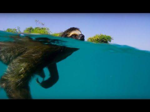 Luiaards staan bekend om hun traagheid. Maar deze luiaard heeft alle haast van de wereld!