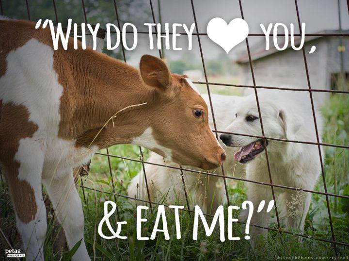 Warum werden Hunde als Haustiere gehalten und Rinder/ Schweine gegessen und schlecht behandelt, wo sie genauso intelligent sind...