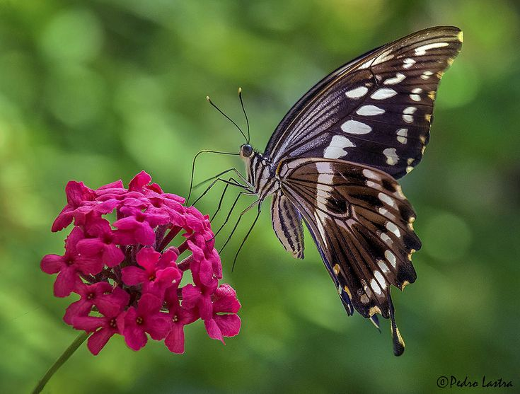 the book of indian butterflies isaac kehimkar pdf