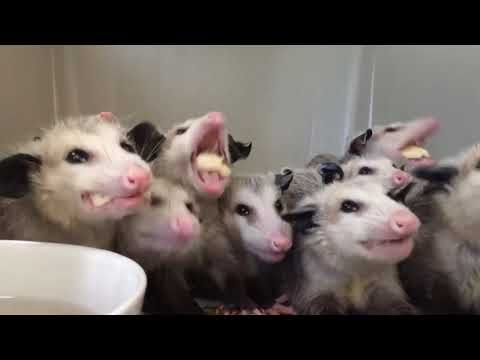 Just a bunch of possums munching on a naner  | Videos for