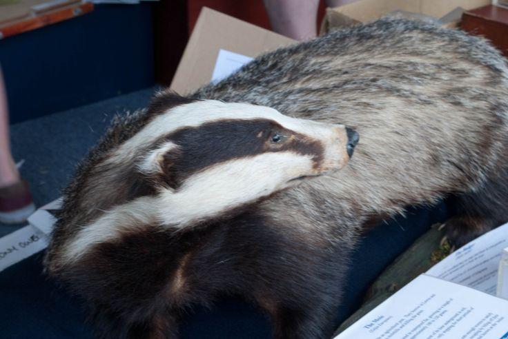 Stuffed badger
