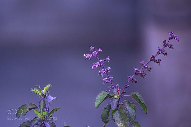 Tulsi: Ocimum tenuiflorum by PritiSinha