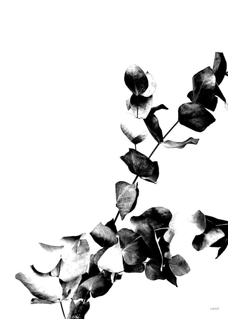 #Poster: Eucalyptus Konstnär: Wintherland 399 kr #postersonline #SvartvitaTavlor #SnyggaTavlor  Print på matt papper med vit marginal, inramad med svart träram Mars