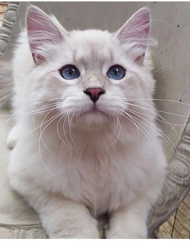 Photo - Google  Pretty Blue Eyes #Cats and like OMG! get some yourself some pawtastic adorable cat apparel!