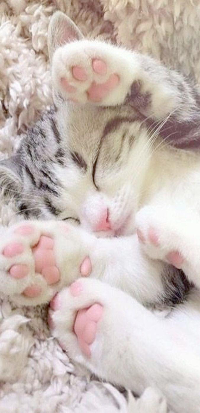Cute Cats Cats Cute In 2020 Cute Cats Cat Breeds Siamese Baby Cats