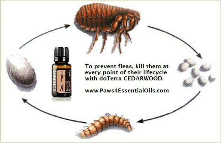 Cedarwood Essential Oil mixed with a carrier oil to kill fleas.