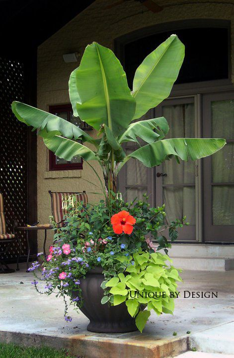 Go a little tropical!  Bananas make great centerpieces in patio gardens.