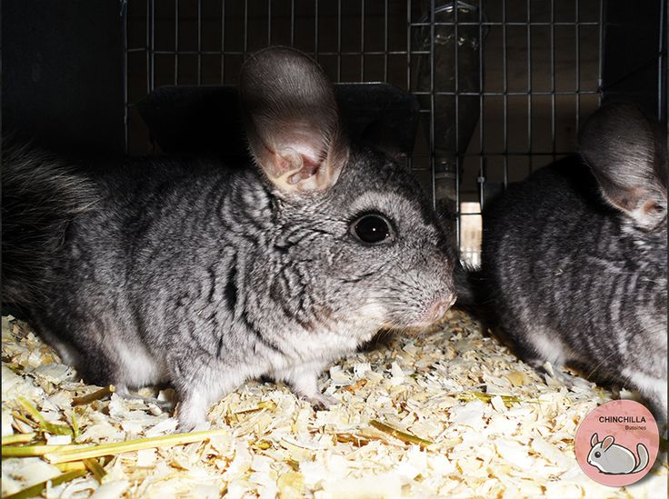 http://www.chinchillabusiness.com Ferma chinchilla Crestere chinchilla  Afacere chinchilla