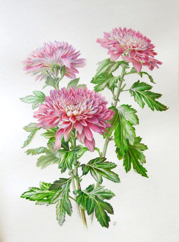 Картинка цветок астра нарисованная, для контактов