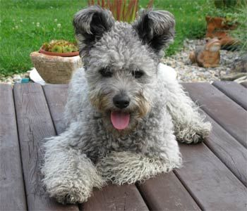 Our next dog has to be a Pumi!