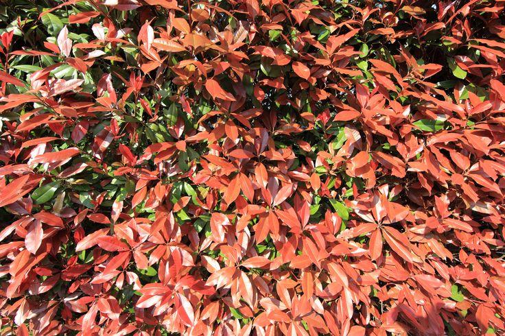 https://flic.kr/p/bTXiLp   Leaves / 葉(は)   Egawa-tei(residence), Izu-no-kuni-shi(city) Shizuoka-ken(Prefecture), Japan  静岡県伊豆の国市(しずおかけん いずのくにし) 江川邸(えがわてい)