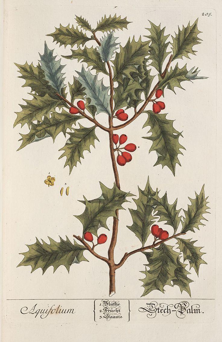 lindahall:  Holly by Elizabeth Blackwell from Herbarium Blackwellianum emendatum et auctum, 1754.
