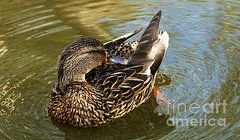 Ducks Unlimited Prints - Mallard Hen 2 Prints by Bob Christopher