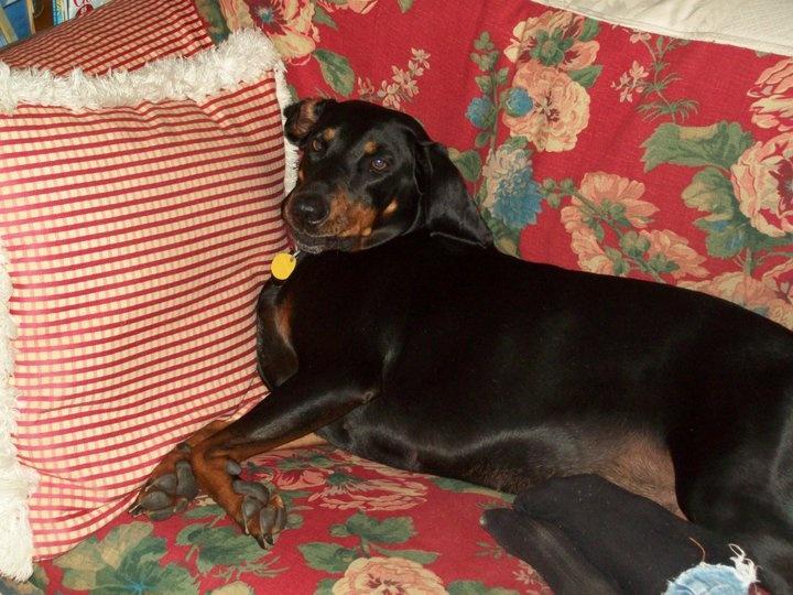 Petunia Coon Hound.   Julianne's family's dog.