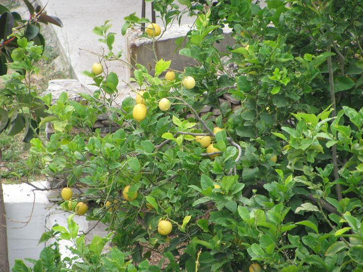 Lemon tree in the yard of hotel next to Nymfes Hotel in Agia Marina Sifnos Greece