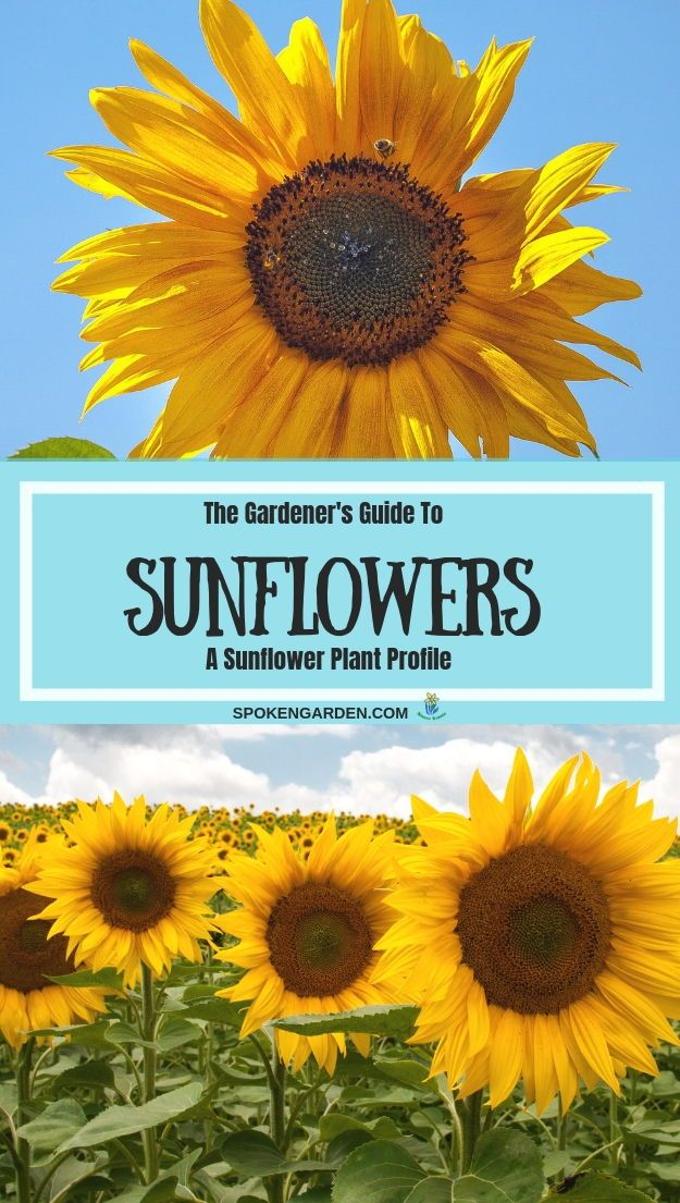 Sunflowers A Gardener S Guide And Plant Profile Spoken Garden Planting Sunflowers Plants Summer Flowers Garden