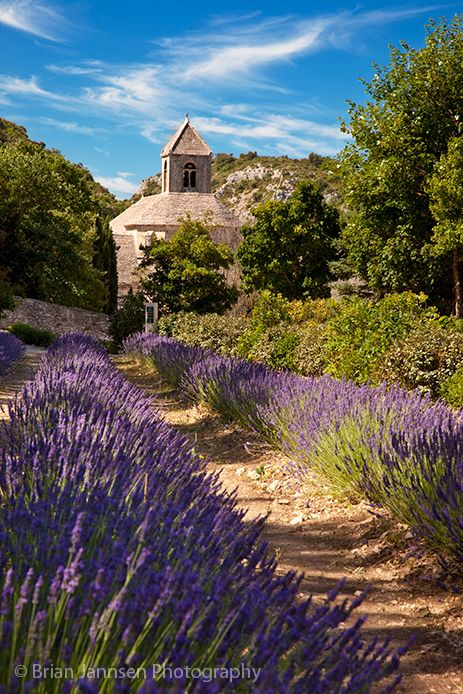 Lavender at Abbaye de Senanque near Gordes France from Provence Toujours