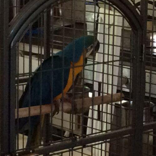 LOST: Rio http://ow.ly/EDU6k Male, Blue Gold, Macaw #Wanneroo #Joondalup WA #LostBirdWanneroo #LostBirdJoondalup #LostBirdWA #LostPetFinders