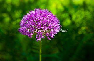 Ann-Kristina Al-Zalimi, kukka, flora, allium, Allium giganteum, jättilaukka