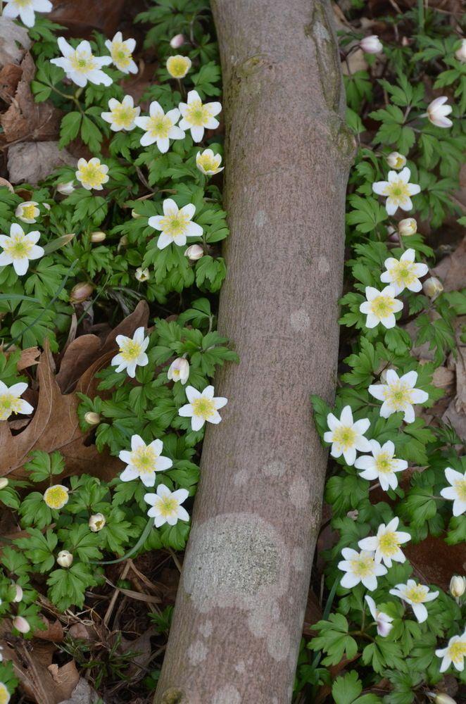 Buschwindröschen http://fc-foto.de/36558293