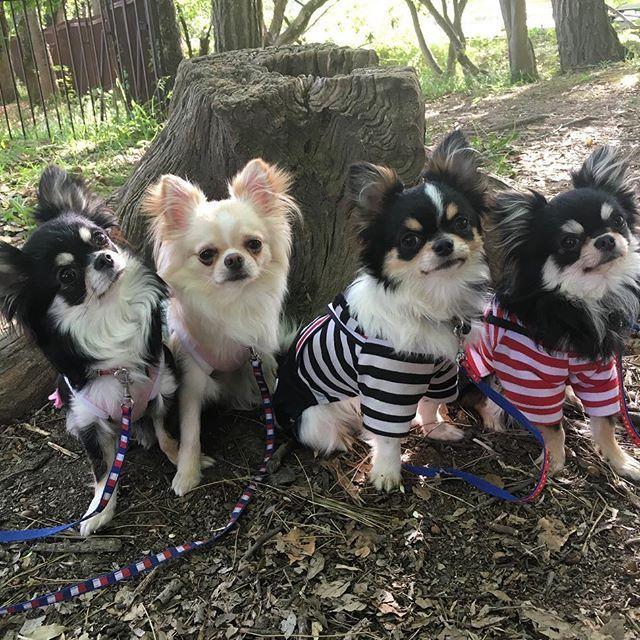 可愛い♡可愛い♡可愛い♡ 親バカです。笑  #チワワ #モコ #ルイ #レオ #ブラックタン #おやばか部 #チワワ部 #チワワラブ #わんこ #犬 #dog #dogstagram #doglovers  #dogs #doglife #chihuahua #お揃い #犬服 #親バカ #ペット博 #多頭飼い #ペット #愛犬 #ロングコートチワワ #ペットは家族 #子犬 #パピー #チワワ画像 #ドッグカフェ #極小チワワ