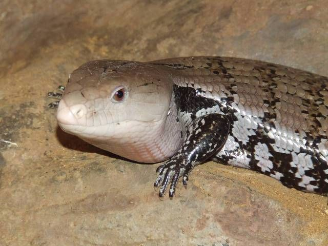 a description of the blue tongued skink Ep 7 - blue tongue skink diet reptilemountaintv description 2/2/17 how to make blue tongued skink diet - duration:.