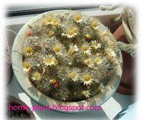 Комнатные растения для души и настроения: Маммилярия: уход в домашних условиях за кактусом с...