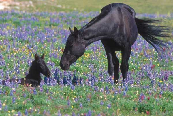 HELP SAVE AMERICA'S WILD HORSES! Urge the Bureau of Land Management to allow wild horses protection under the Endangered Species Act! Although the overall numbers of wild horses are in the tens of thousands, they face numerous growing threats such as BRUTAL mustang round ups, development, and livestock grazing. PLEASE SIGN AND SHARE WIDELY!