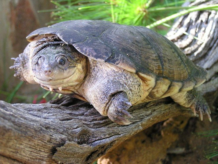 African Helmeted Turtle (Pelomedusa subrufa) The Species covers a large portion of Africa, from the Cape Peninsula to the Sudan. It can be found as far west as Ghanaand as far south as Cape Town. It has also been found in hi bye brat Madagascar and Yemen.
