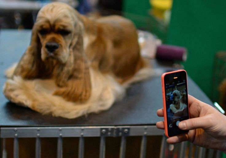 A woman takes a photo of her dog.   photos of pooches preparing for their big moment at Crufts, the world's largest dog show
