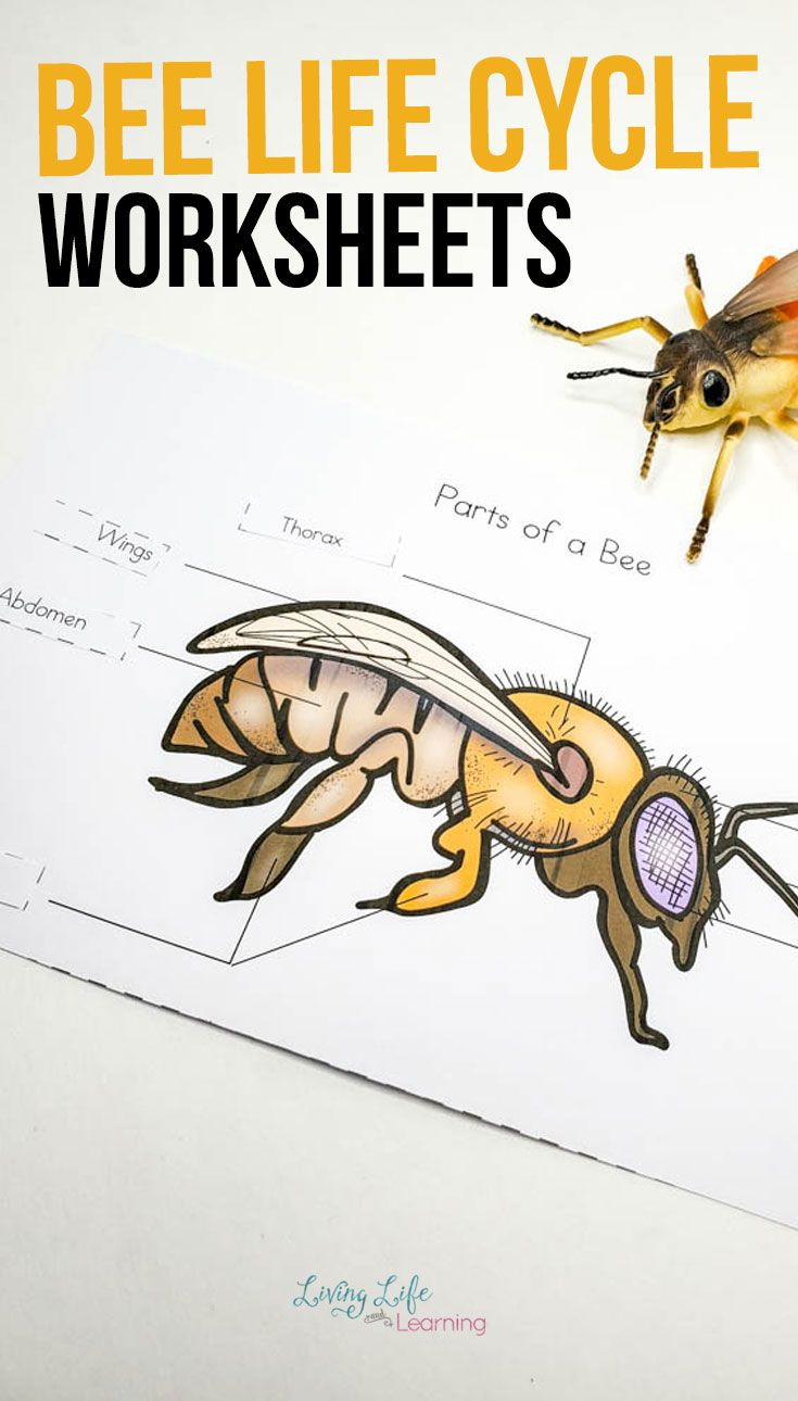 small resolution of Honey Bee Life Cycle Worksheets   Bee life cycle