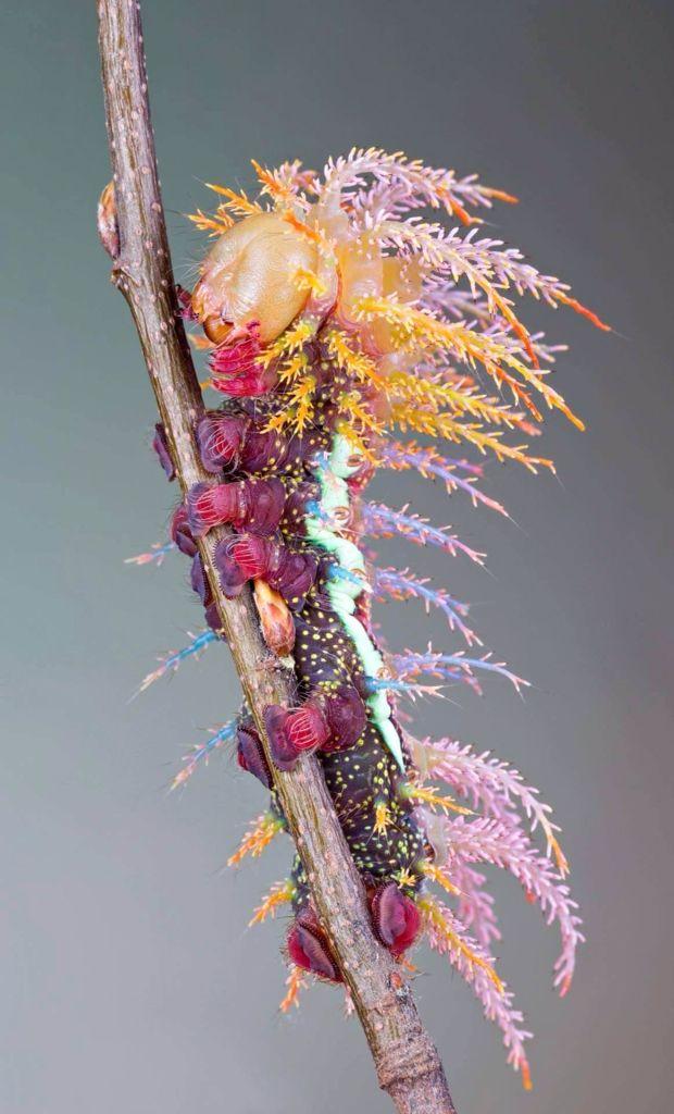 A família Saturniidae é composta pelas maiores espécies de mariposas do mundo. A foto é de uma lagarta de uma das espécies, e apesar de bonita contém veneno e pode matar uma pessoa desavisada.   Foto: Reddit  Biologia com o Prof. Jubilut www.biologiatotal.com.br