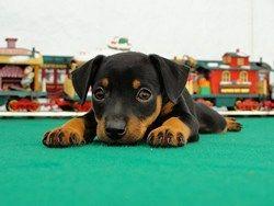 Doberman Pinscher puppy :)